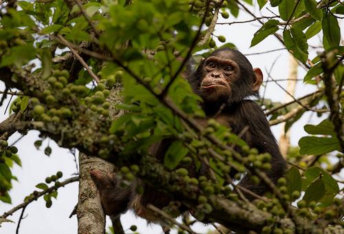 chimpanzee safari holidays africa