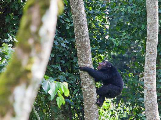 chimpanzees in nyungwe