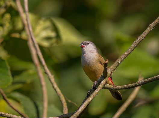 nyungwe birds