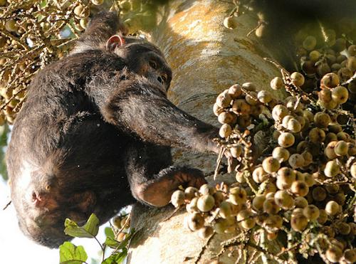 nyungwe chimpanzee trekking tours