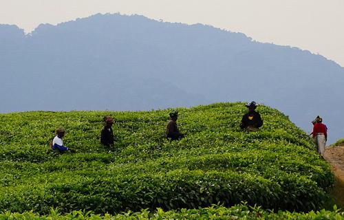 rwanda tea estate